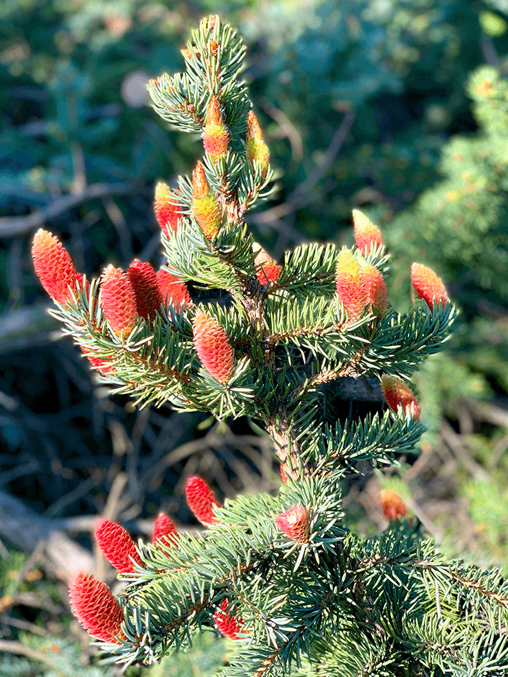 Blue Spruce Flowers